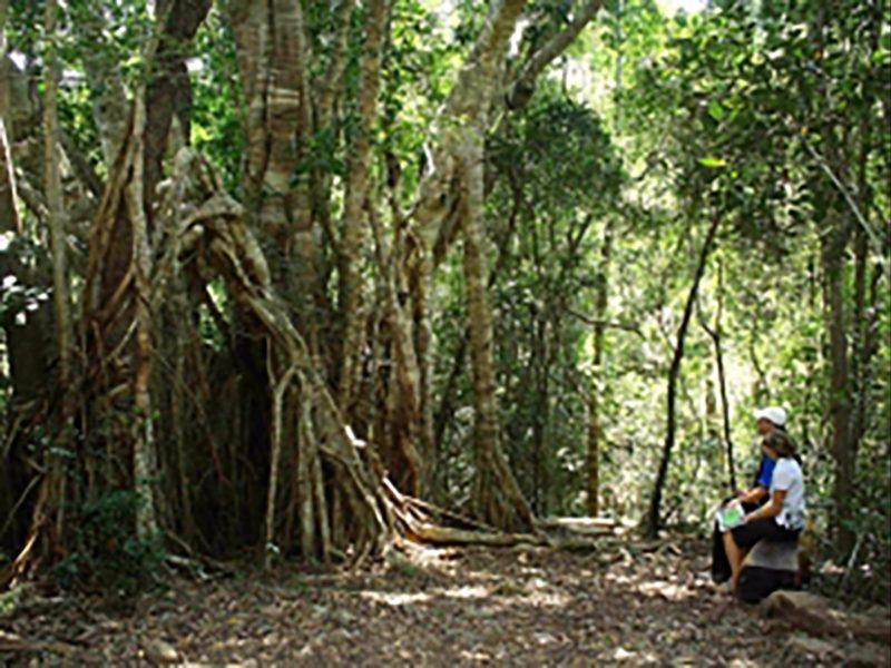 Airlie Creek Track Fig Tree