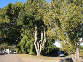 Anzac Avenue Memorial Trees