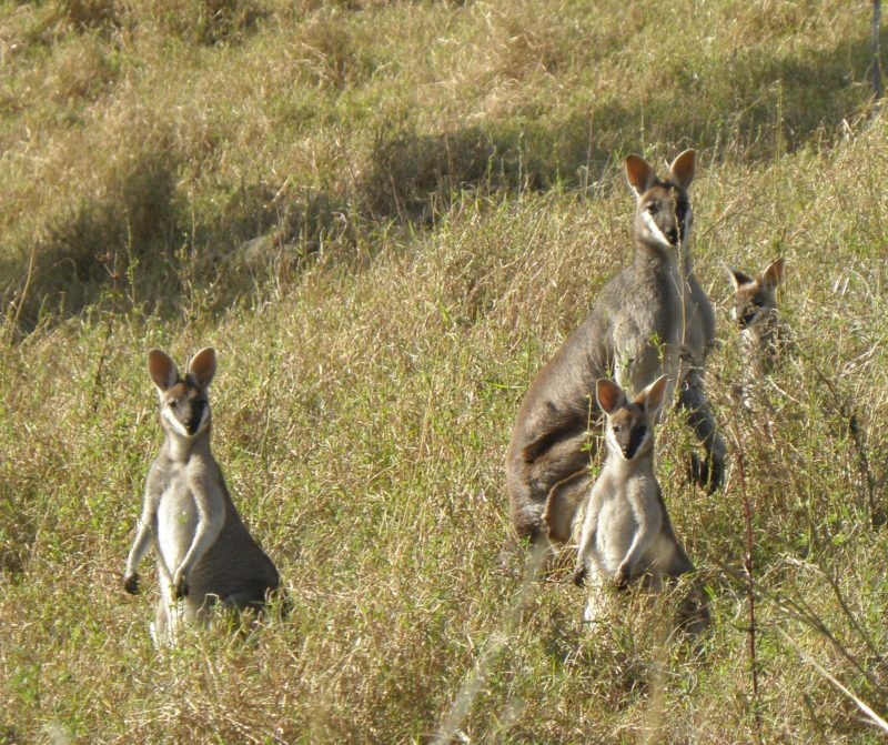 Whiptail_wallabies