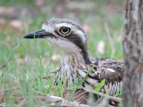 Bush Stpne-curlew, Coochiemudlo Island