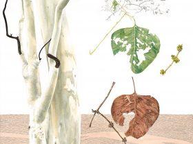 Watercolour and graphite drawing of Eucalyptus platyphylla, poplar gum
