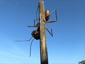 Augathella Meat Ant