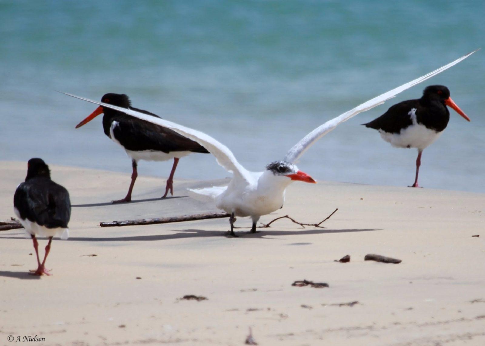 Tin Can Bay Bird Walk