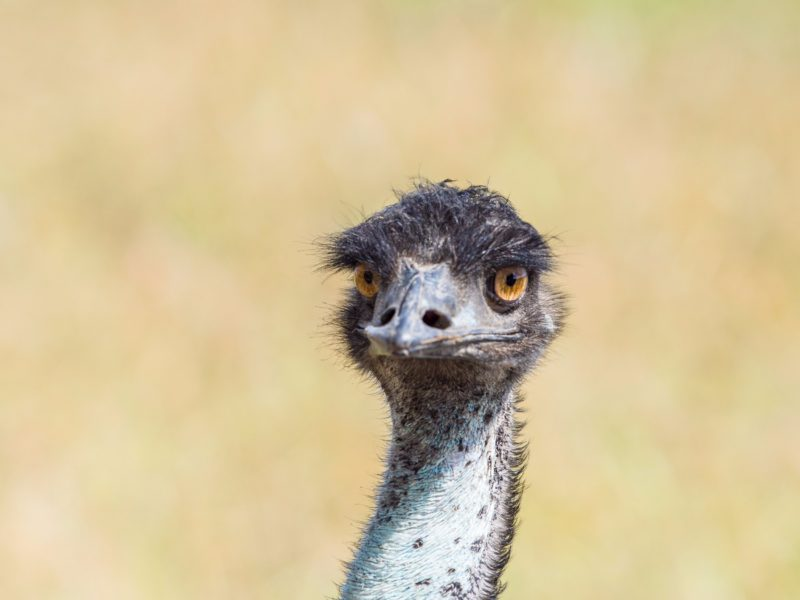 Emu on Port Douglas wildlife tour
