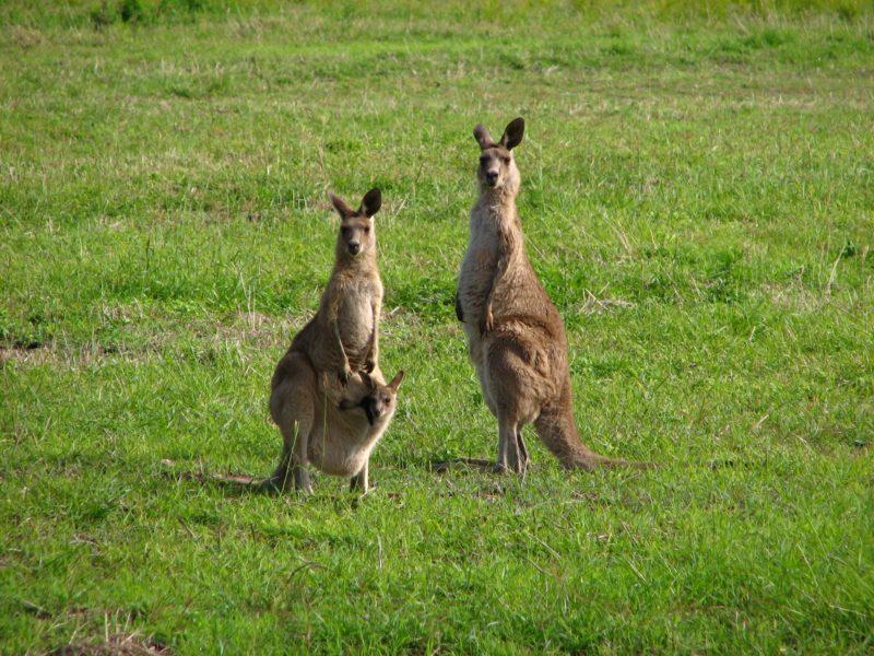kangaroo burrum heads