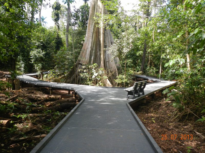 Boardwalk leads towards and encircles broad base of large fig tree, surrounded by forest.