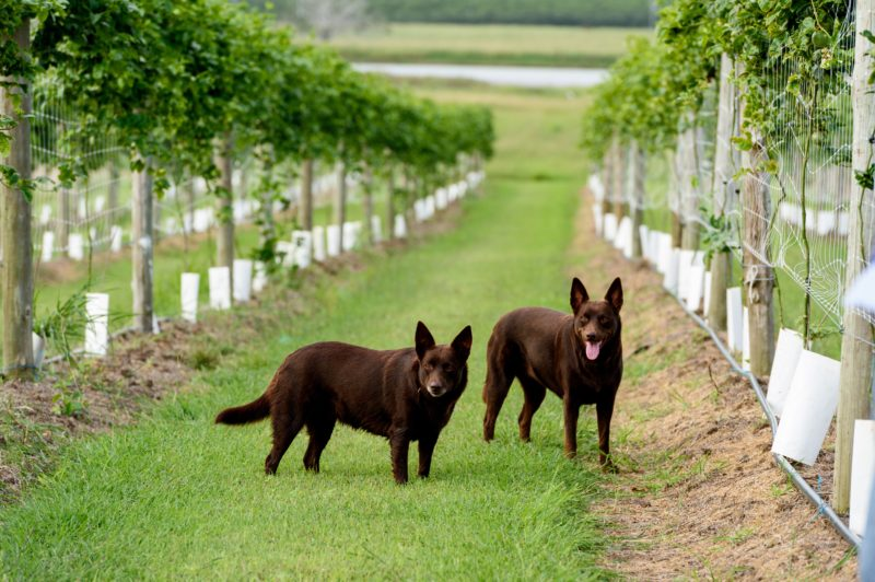 Red dogs