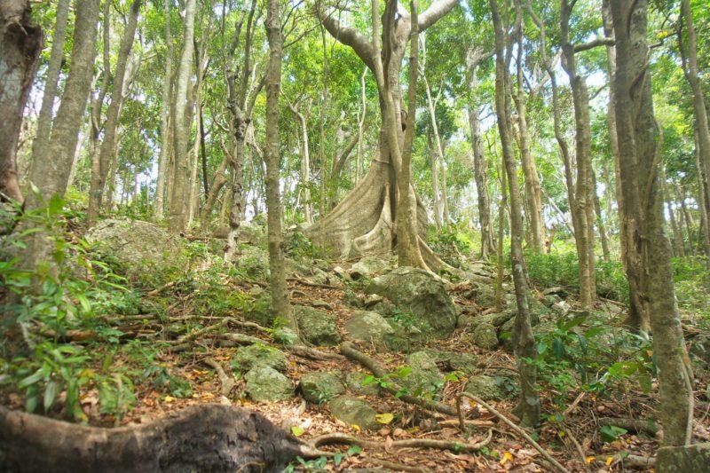 Buttress root, Rainforest circuit, Burleigh Head