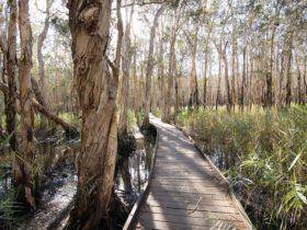Boardwalk through melaleuca forest