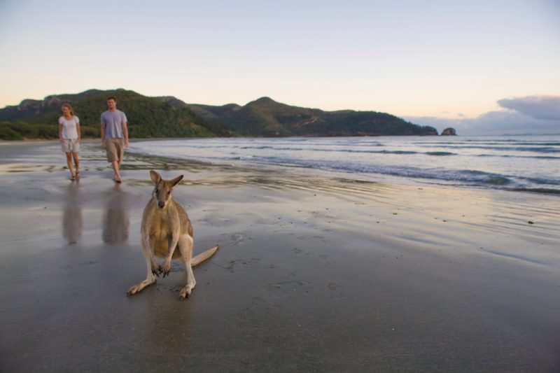 Wallabies and people on beach, Cape Hillsborough