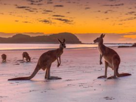 Cape Hillsborough Sunrise with the Wallabies