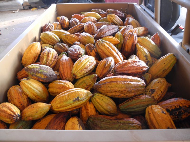 Freshly harvested cocoa pods in a ute