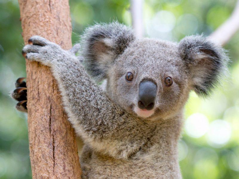 Koala Currumbin Wildlife Sanctuary