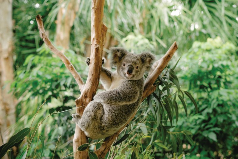 Close up of koala in tree.