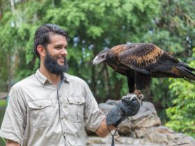 Ranger holding wedge-tailed eagle on hand in Flight Show, David Fleay Wildlife Park