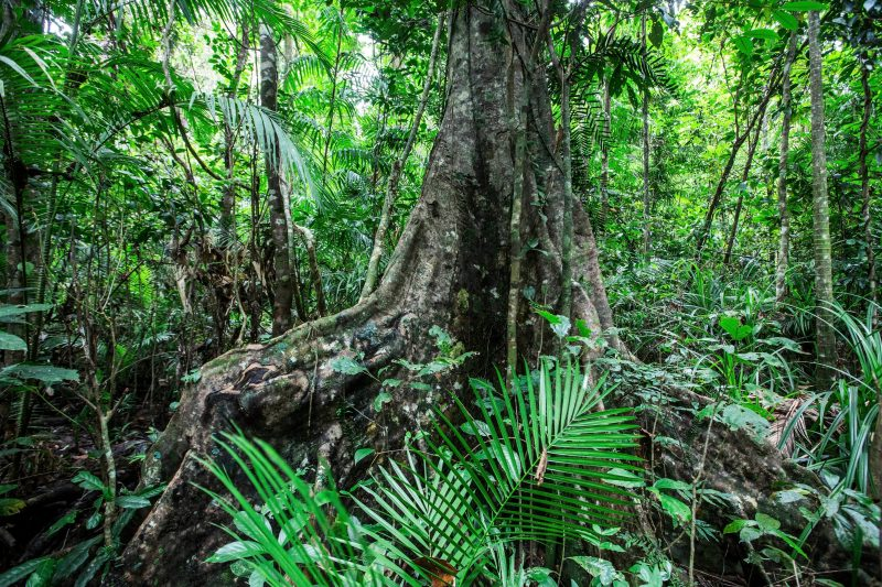 Large buttressed tree stands in lush rainforest.