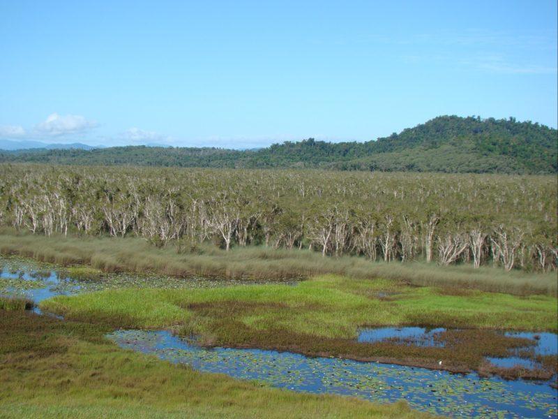 Paperbark forest in Eubenangee Swamp
