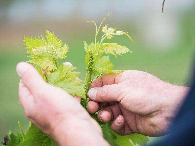 Hands holding vine leaves