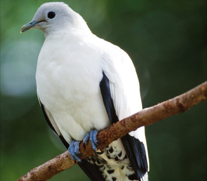 Pied Imperial-pigeon, Goold Island