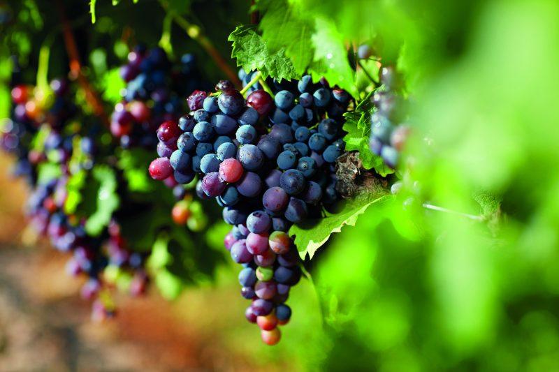 Grapes, Granite Belt