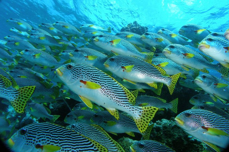 2014 Young Photographer - Diagonal-banded Sweetlips school playing spot the difference.