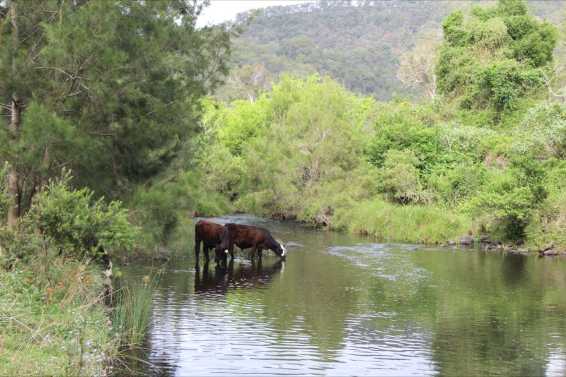 Canungra Creek with cattle drinking