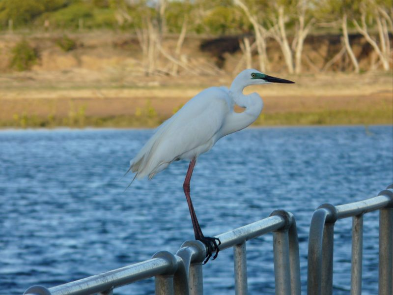Egret resting on the jetty railing during an afternoon at Groper Creek.