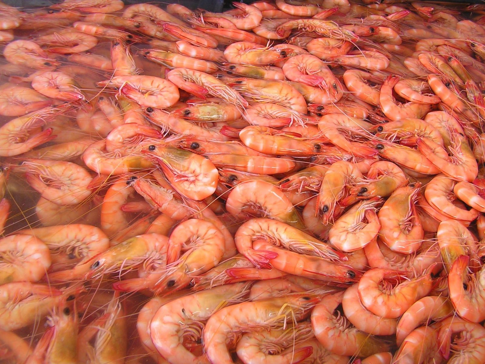 Fresh Ocean King Prawns