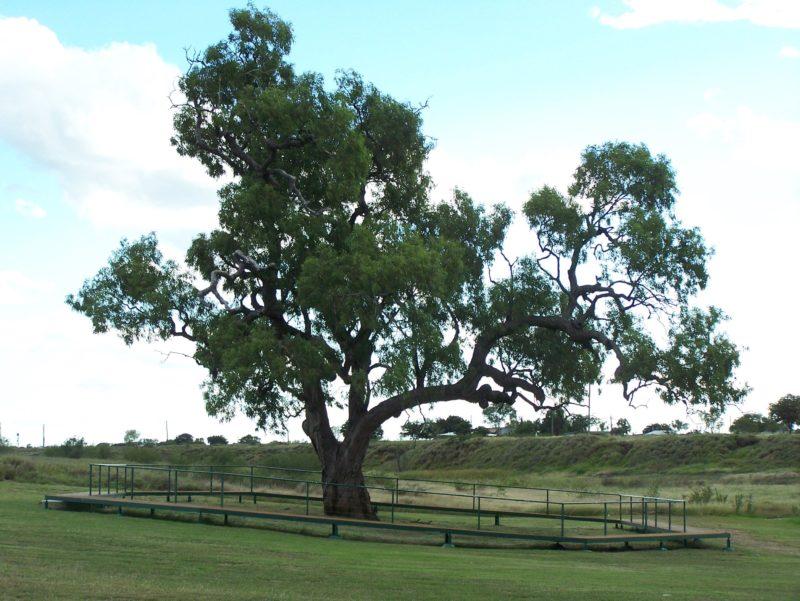 Historic Coolabah Tree