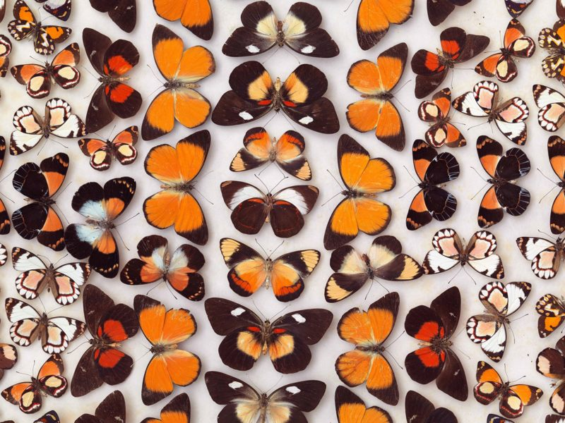 Guinea butterflies featuring Orange Jezebels, Delias aruna.