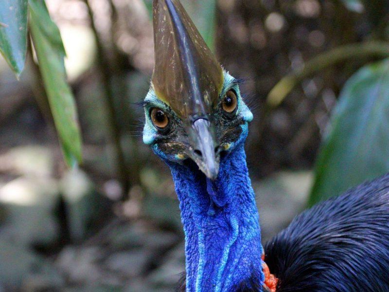 Southern Cassowary at Wildlife Habitat Port Douglas on Jungle Tours & Trekking