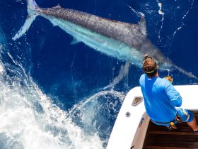 A truly giant black marlin is swum alongside Kekoa before release