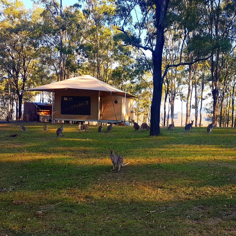 Wallabies right outside your Eco-tent