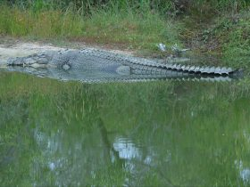 One of Australia's biggest crocodiles