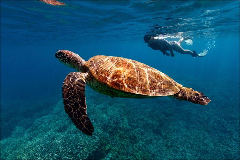 Turtle, snorkel, reef, dive, bundaberg, lady musgrave island