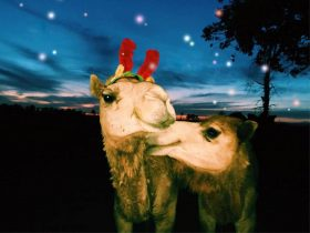 Christmas with Camels