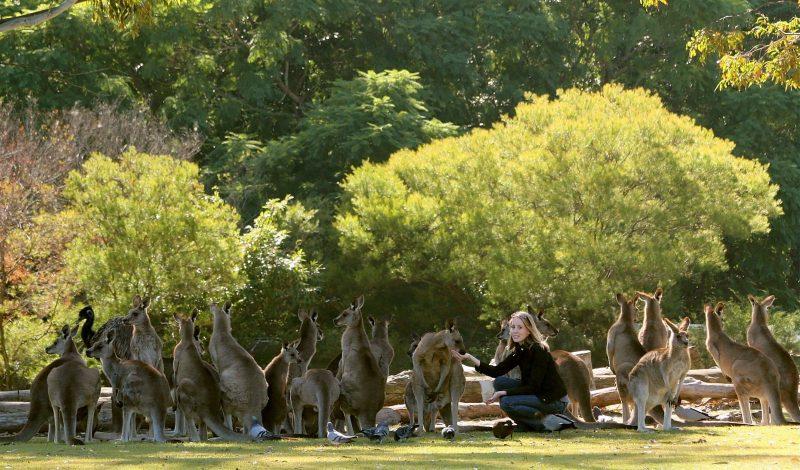 Hand-feed kangaroos