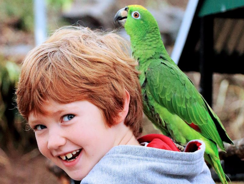 Harry and CJ their Yellow fronted Amazon