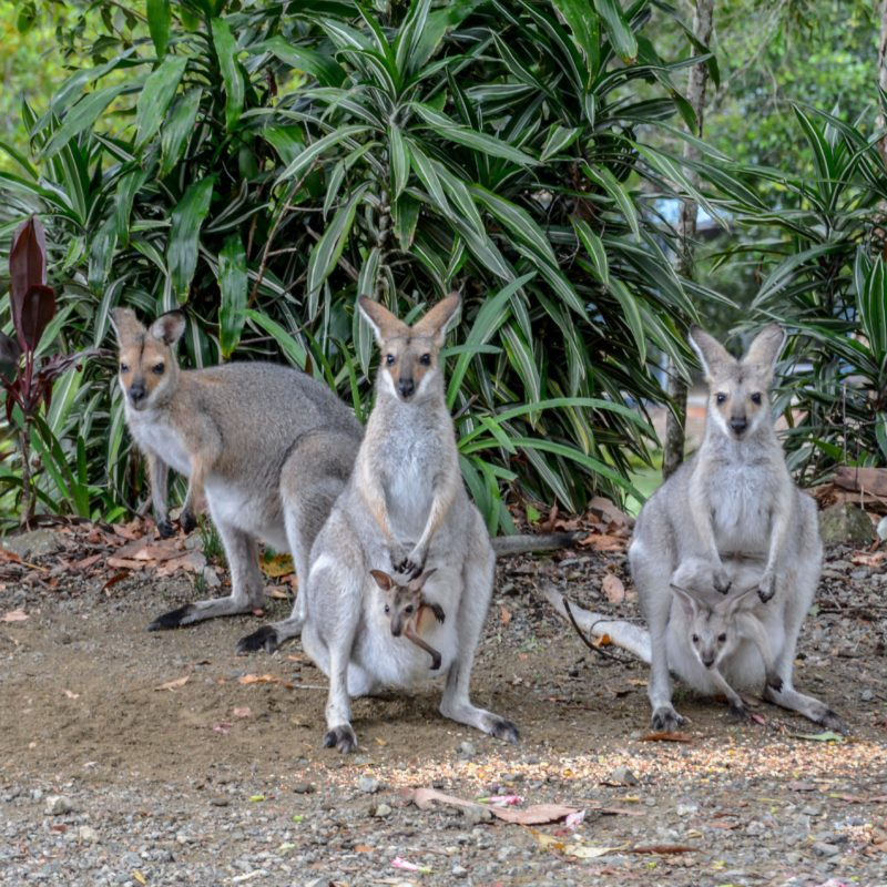 Wallabies and Joeys - Maleny Country Cottages