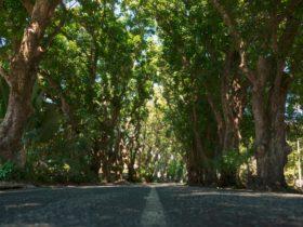 mango trees Eimeo