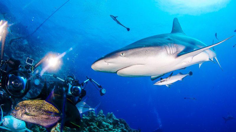 Shark Attraction - Coral Sea