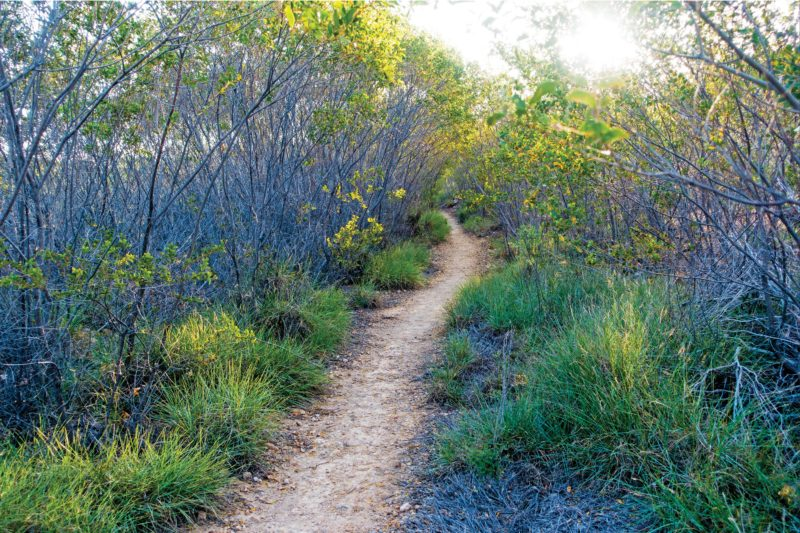 Sandy track through head-high vegetation.