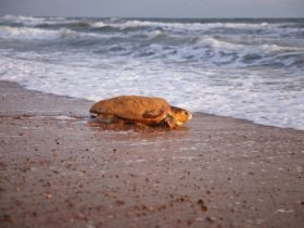 Loggerhead turtle on beach.