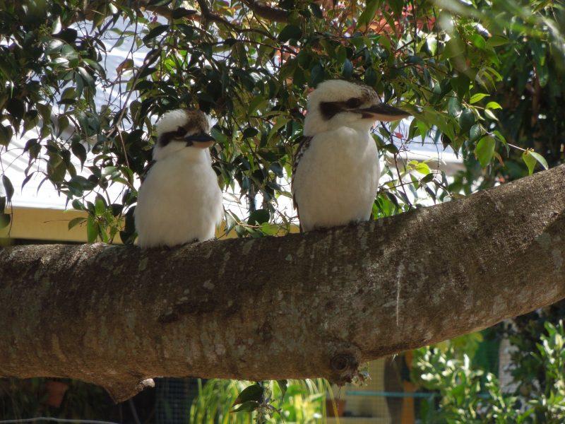 Kookaburras in the back yard