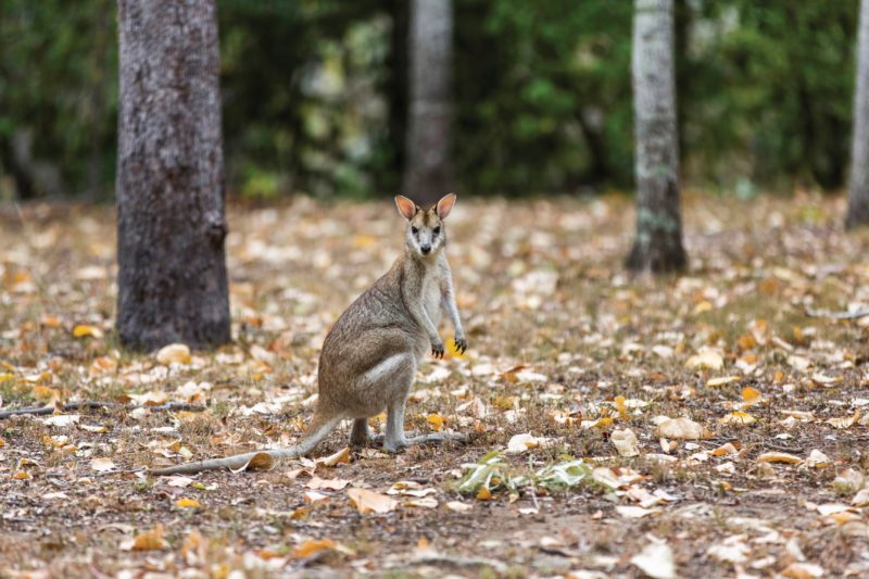 Wallaby in forest.