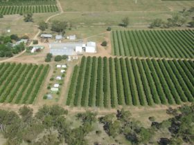 Aerial view of citrus crops in Mundubbera