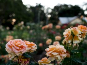 Newtown Rose Garden