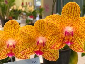 NMQOC Inc Charity Spectacular Orchid Show