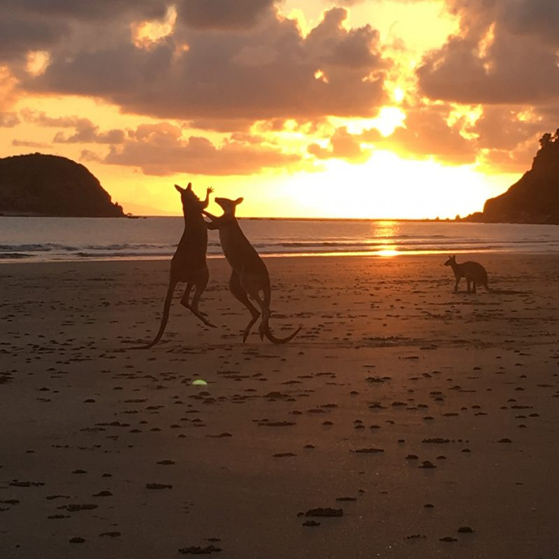 Wallabies at sunrise on nearby Cape Hillsborough beach
