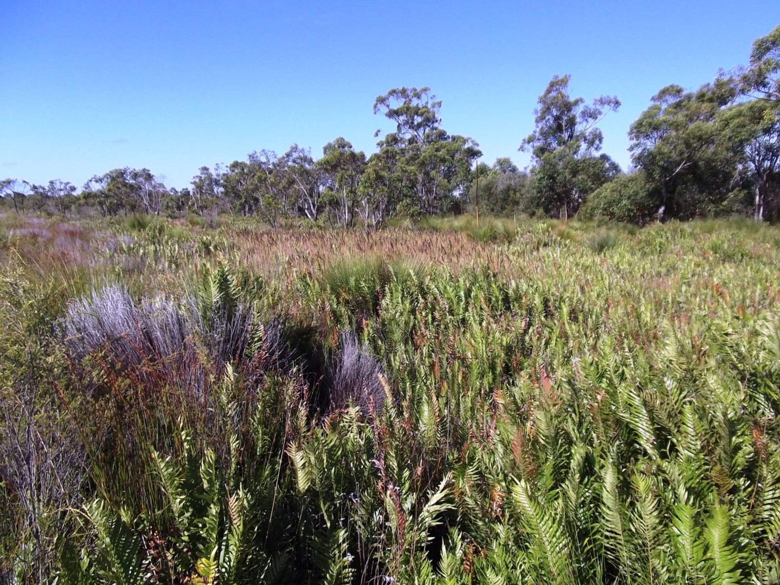 Coastal heath in Pine Ridge